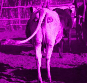 la-mucca-disegnata-850x598